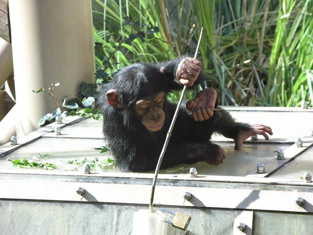 京都市動物園・チンパンジー