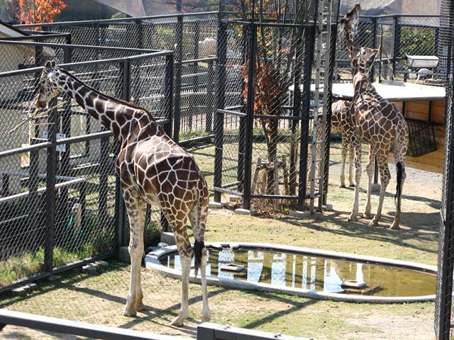 京都市動物園・キリン
