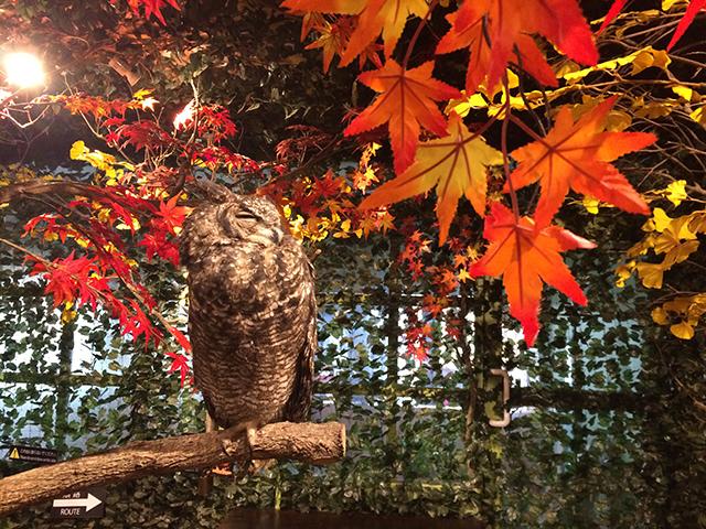 京都のフクロウの森-ワシミミズク