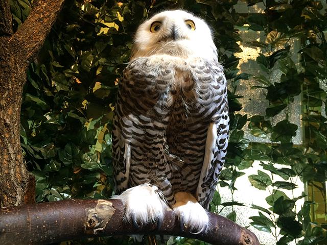 京都のフクロウの森-シロフクロウ