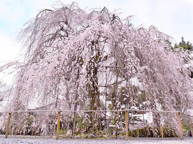 千本釈迦堂 - 桜1