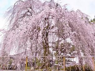 千本釈迦堂の阿亀桜EC