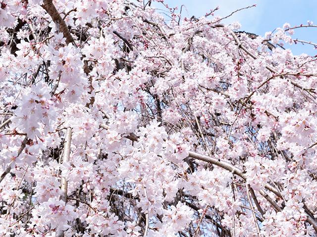 千本釈迦堂 - 桜2