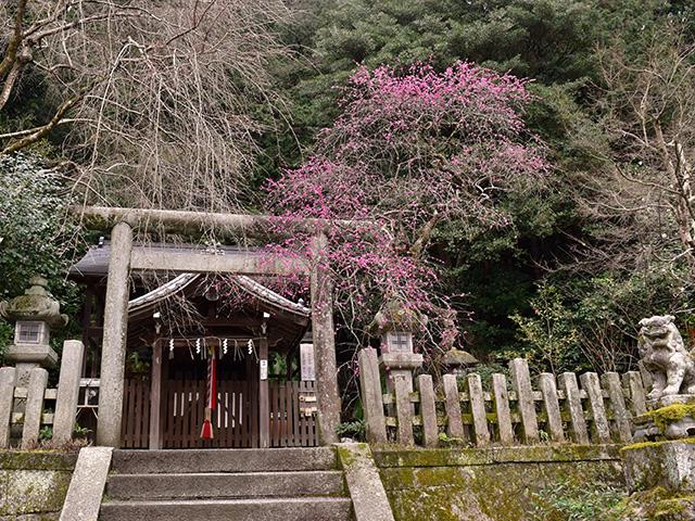 大豊神社 - しだれ梅1