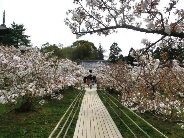 仁和寺 - 御室桜3