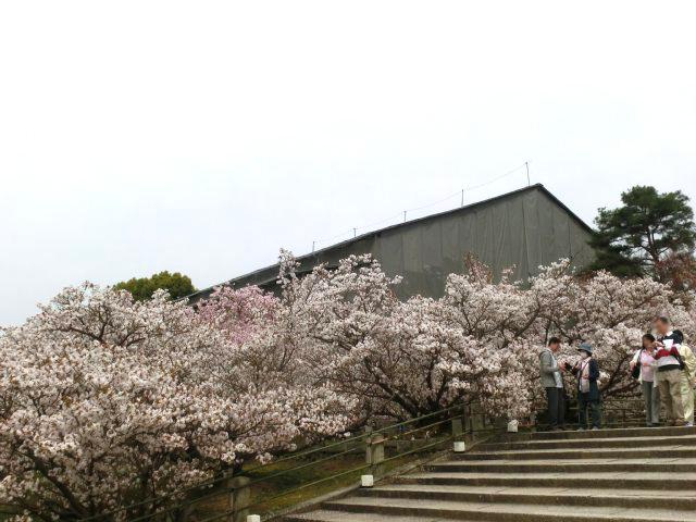 仁和寺 - 修理中の観音堂