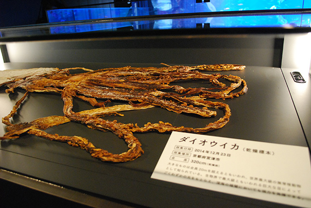 京都水族館 - ダイオウイカ