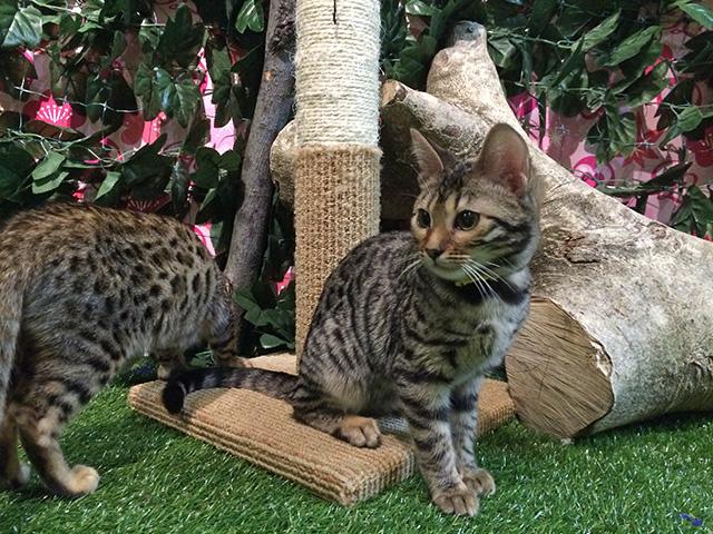 京都ひょう猫の森 - 猫2