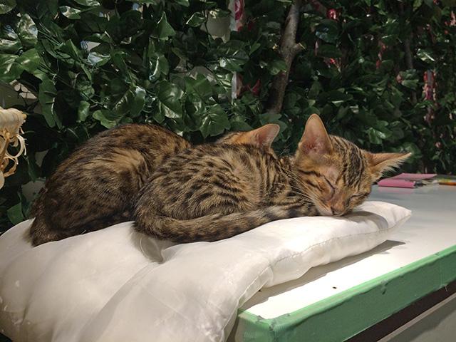 京都ひょう猫の森 - 猫3