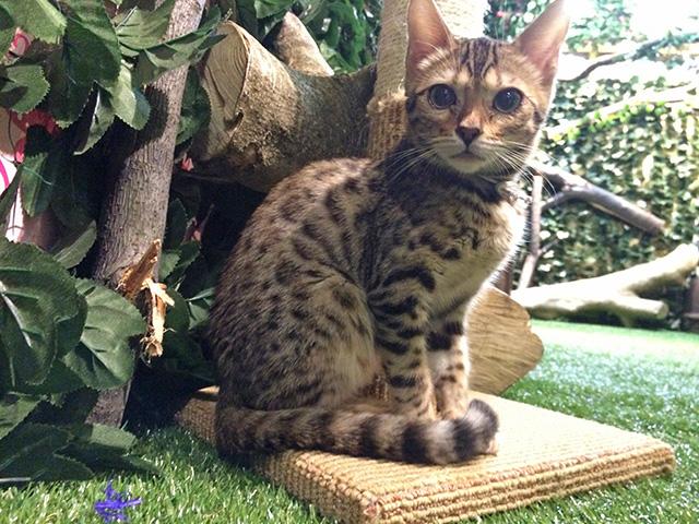 京都ひょう猫の森 - 猫4