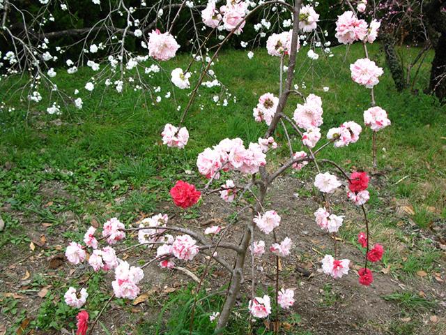 京都府立植物園 - 桃