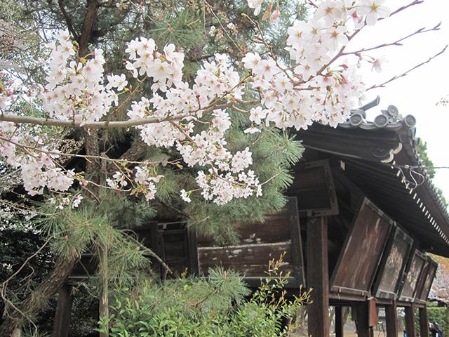 御香宮の桜