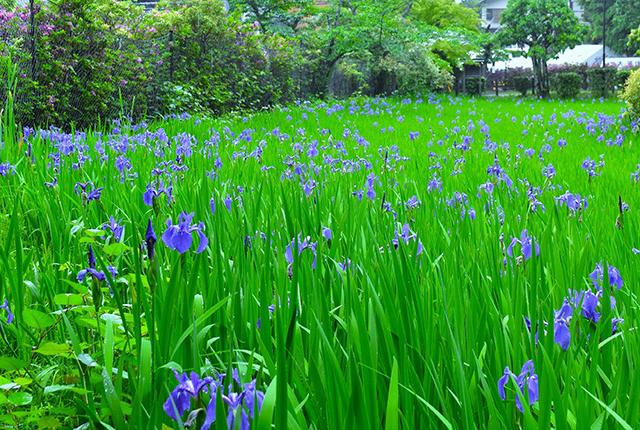 大田神社のカキツバタEC
