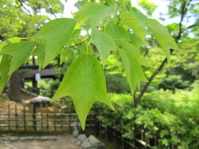 葉先が3つに分かれ、秋には黄金色に染まる「通天紅葉」。開山の聖一国師が宋から伝えた唐楓といわれている。