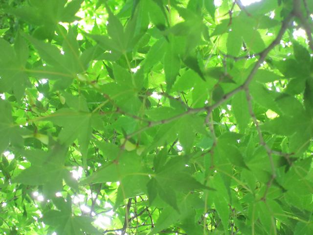 木漏れ日が、青もみじの色に染まる。