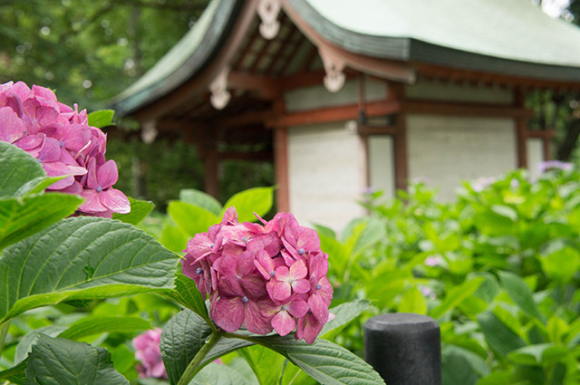 藤森神社 - あじさい苑8