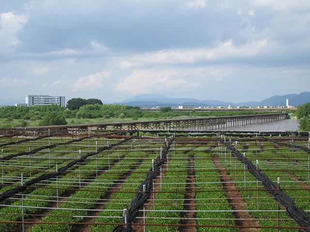 流れ橋 - 茶畑