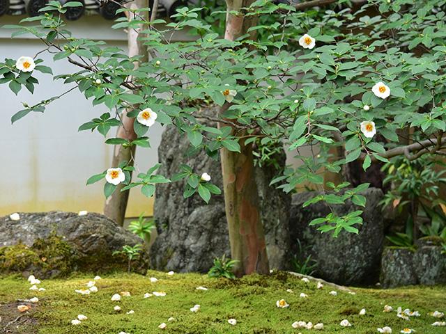 東林院 - 沙羅の木