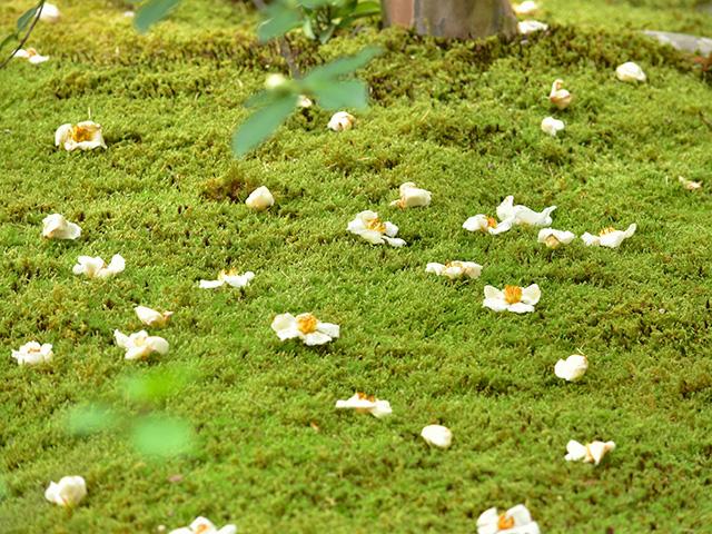東林院 - 落ちた花
