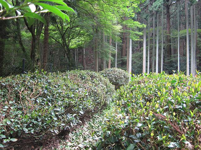 高山寺 - 茶園