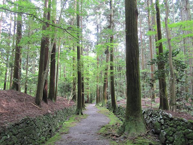 高山寺 - 杉木立の金堂道