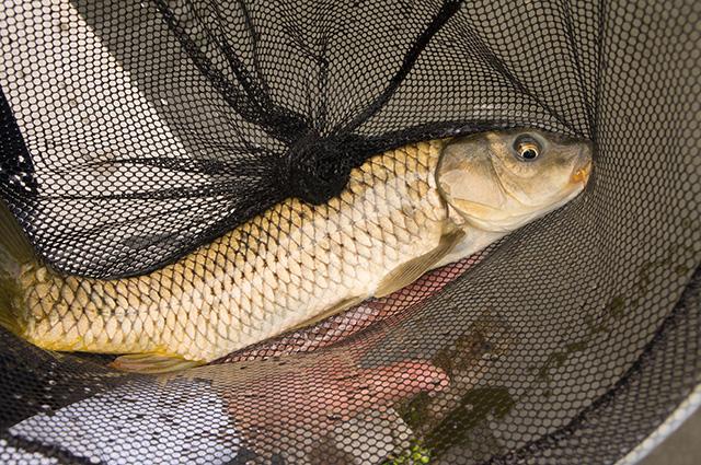 釣り池 弁慶 - 魚