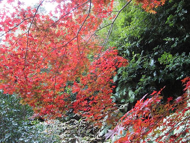 日向大神宮 - 紅葉
