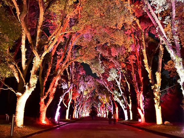 京都府立植物園 - くすのき並木1