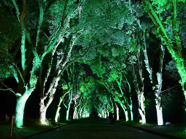京都府立植物園 - くすのき並木2