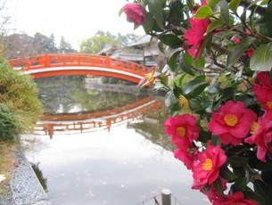 神泉苑の山茶花EC