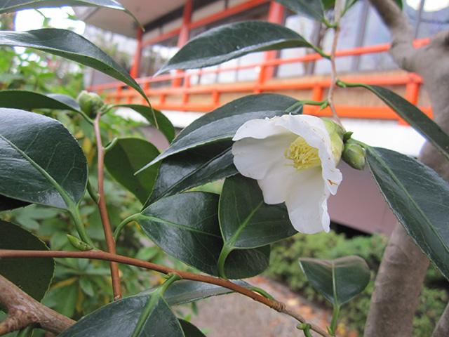 神泉苑 - 椿