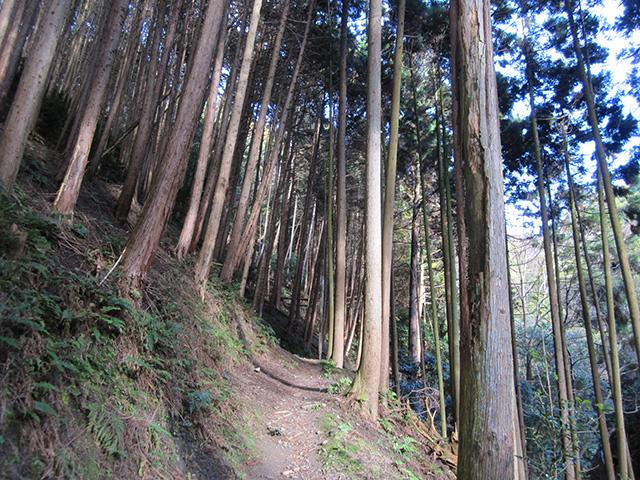 杉木立の山道