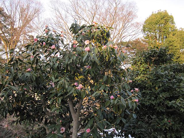 二条城 - 椿の木