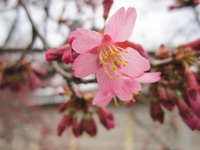 長徳寺 - おかめ桜