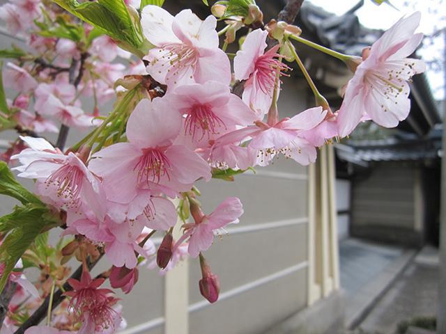 長徳寺 - 河津桜