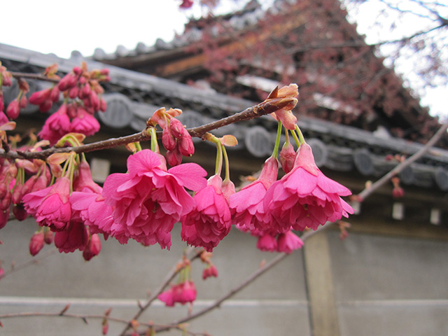 長徳寺 - 寒緋桜