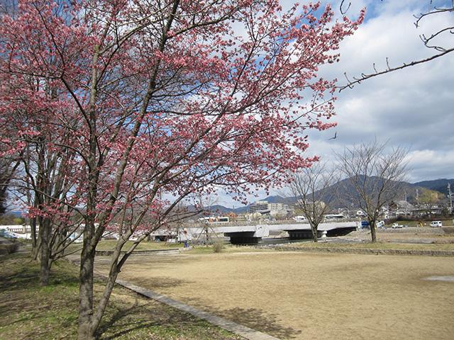 鴨川 - おかめ桜1