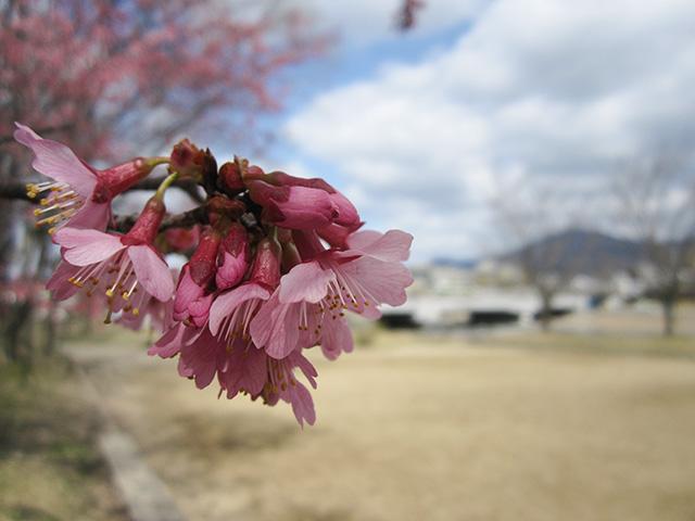 鴨川 - おかめ桜2