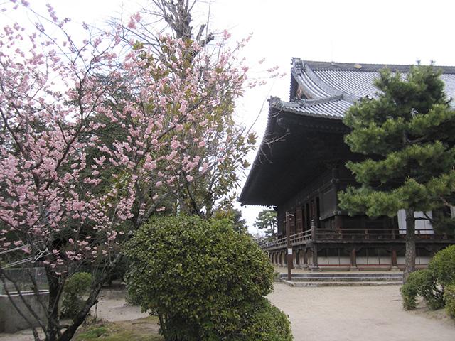 百万遍知恩寺 - 御影堂と富士桜