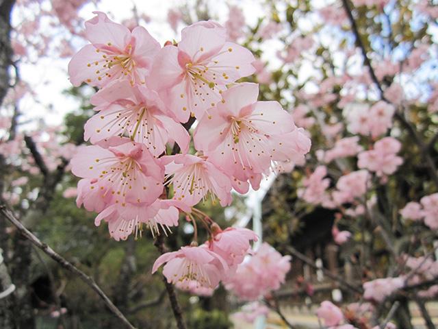 百万遍知恩寺 - 富士桜
