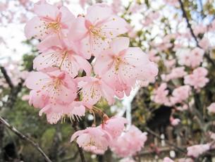 早咲きの桜EC
