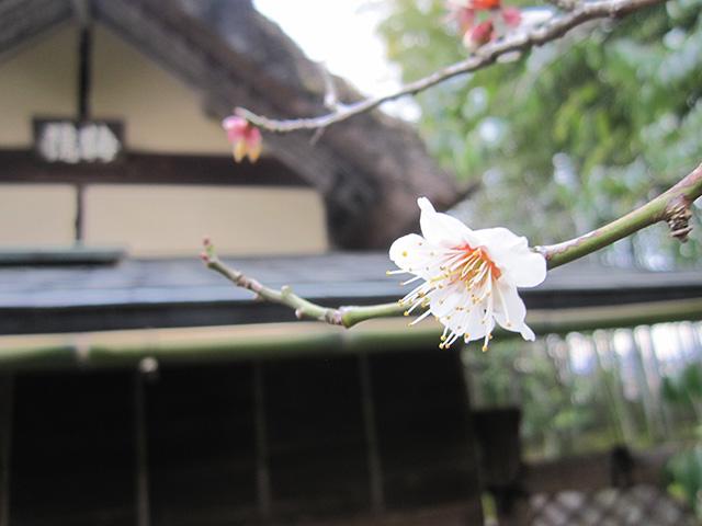 松花堂庭園 - 白梅と梅隠