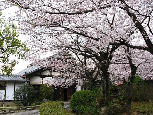 上品蓮台寺 - 桜1