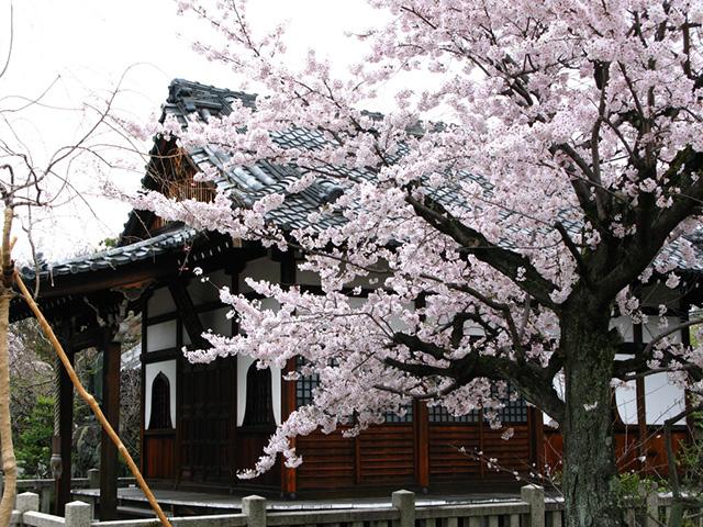 上品蓮台寺 - 桜2