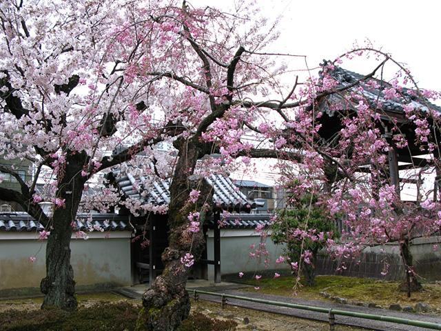 上品蓮台寺 - 桜3