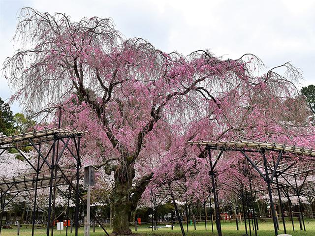 上賀茂神社 - 斎王桜