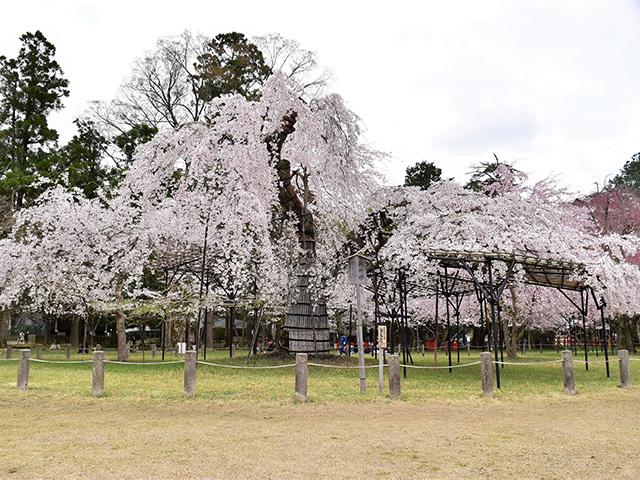 上賀茂神社 - 御所桜