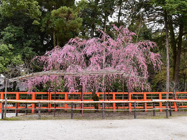 上賀茂神社 - 風流桜