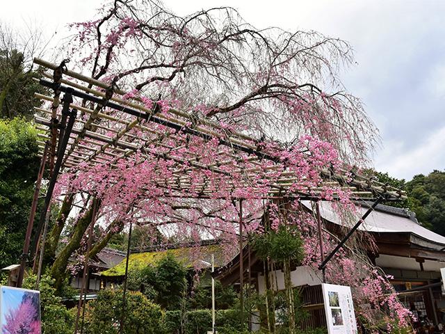 上賀茂神社 - みあれ桜