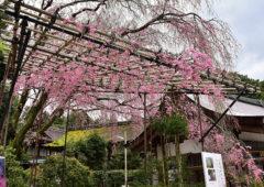 上賀茂神社で桜を楽しむEC